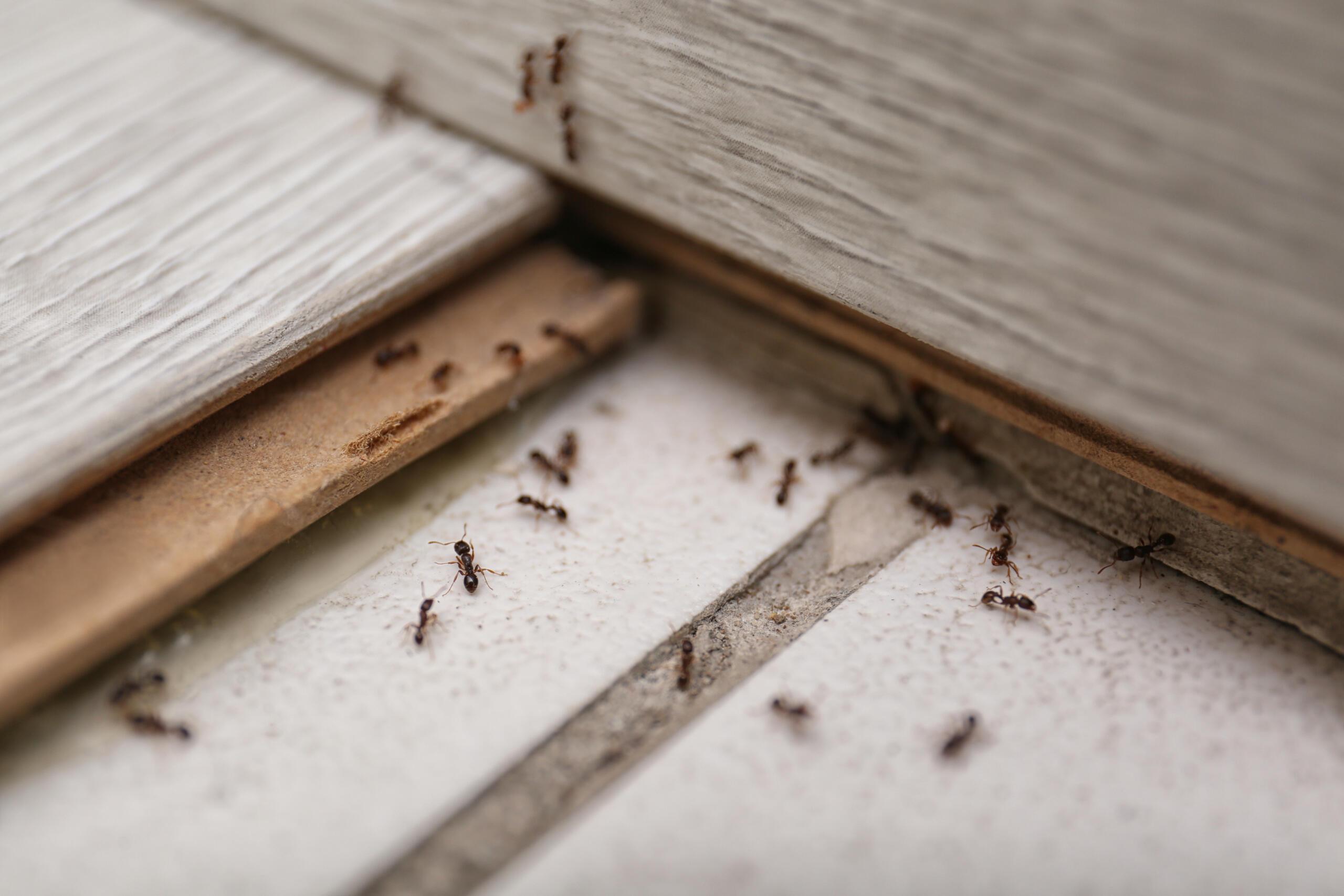 Ameisenbekämpfung in Lübeck